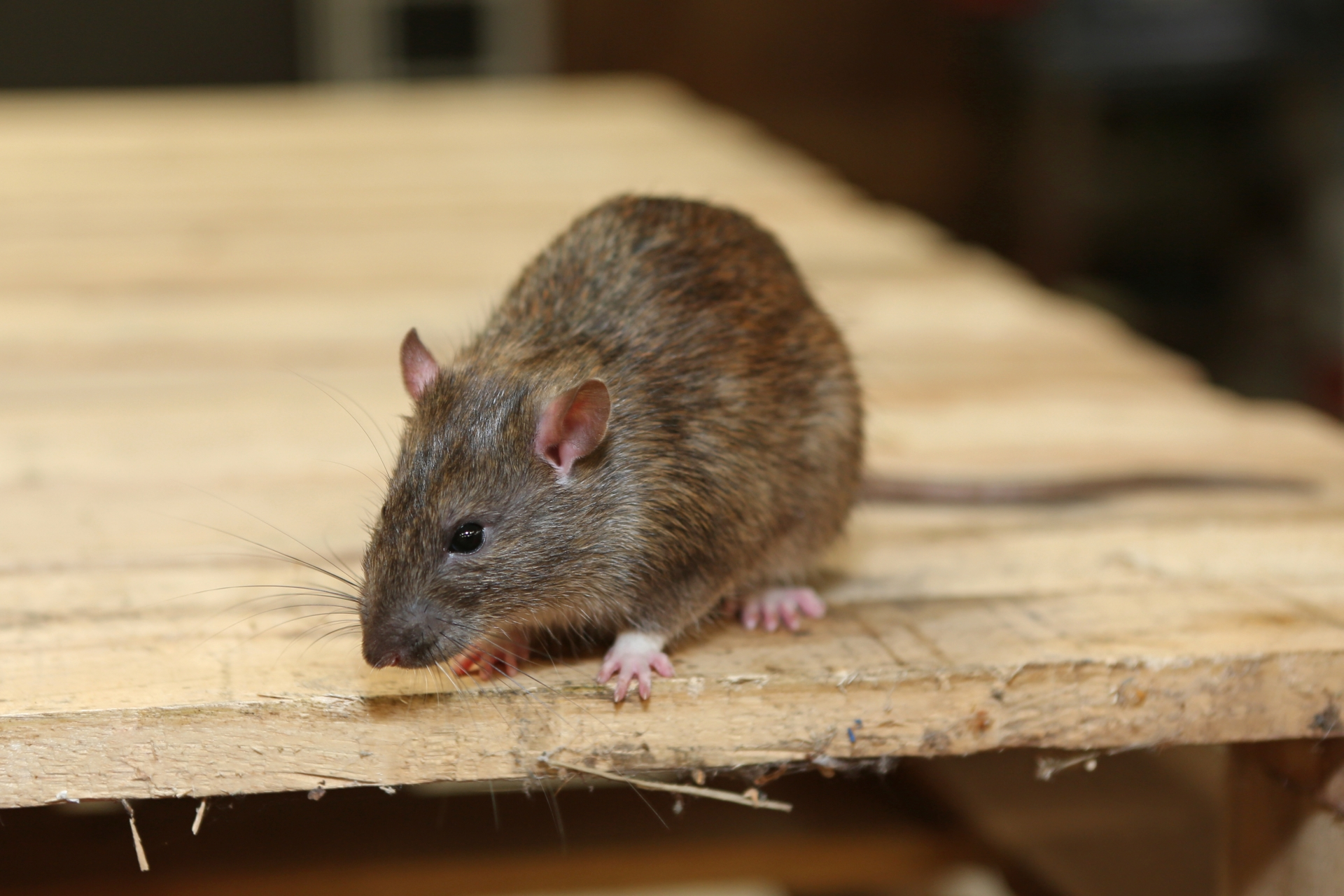 Rat Infestation, Pest Control in Canbury, Coombe, KT2. Call Now 020 8166 9746