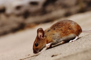 Mice Exterminator, Pest Control in Canbury, Coombe, KT2. Call Now 020 8166 9746