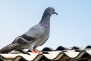 Pigeon Control, Pest Control in Canbury, Coombe, KT2. Call Now 020 8166 9746